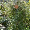 ケラトスチグマ花盛り