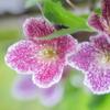 冬咲きのクレマチス