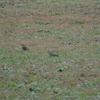 ジィちゃんと探鳥、秋ヶ瀬公園でツグミvsヒヨドリvsアカハラvsシロハラvsカケス/2020-12-3