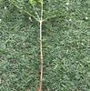 シマトネリコ 挿し木発根 虫被害