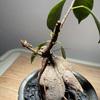 【ガジュマル成長記録】剪定後、新芽が出てきました!