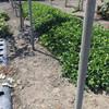 ジャンボ落花生の除草