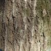 植物の皮「樹皮」を観察してみよう その2(クヌギ、コナラ、クスノキ)