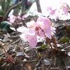 鎌ヶ岳 ピンク色の馬の背尾根 2007.04.15