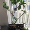 大人の趣味盆栽… 家庭菜園初心者が毎日野菜の成長を見ていたら盆栽に興味が出てきました…