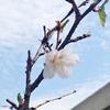 ベランダの富士桜が今年も開花