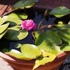 一日一撮 vol.263 番の州公園:水に浮かぶ薔薇