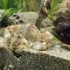 【嬉しいお知らせと悲しいお知らせ】水槽のコブシガニが交尾しました