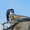 ベリーズ 電柱にどんぐりを貯める Acorn Woodpecker (エイコーン ウッドペッカー)