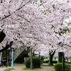 大阪市旭区 城北公園 桜の開花状況(2017年4月8日)