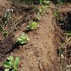 【オルかな農園報告⑯~夏野菜、これまで収穫ありがとう!秋野菜への植え替え続々~】
