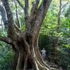 やんばるの森事情 2 オキナワウラジロガシの話