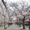 2019年の桜の開花宣言後に、京都の桜巡りを開始!