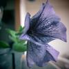 やっと咲いてくれたペチュニア -その後ー