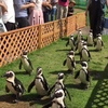 絶滅危惧種ペンギンに逢う