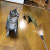 新しい猫じゃらしは孔雀の羽のん