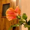 【ハイビスカス】強剪定した枝から花が咲きました!