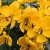 ハナセンナの花と葉