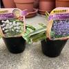 八重咲きカンパニュラを購入!