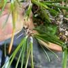 黒松の古葉をとって不要な芽をかき取る
