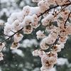 箱根新道では路面が積雪状態でスタッドレスタイヤは必須!!東京では雪と桜のコラボが見られる!?
