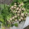 就労準備支援&介護予防 菜園プロジェクト 冬の作物収穫