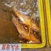 2018年10月3日 小浜漁港 お魚情報