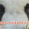 パンダの赤ちゃんが生まれたけど・・・大丈夫?