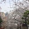 桜の開花状況 浜町緑道公園 2018/3/27