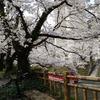 ミニベロで富山をポタリング ③松川の桜、富山港、常願寺川土手【ポタ】【富山】
