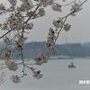 桜めぐり 2018 ~多聞山~