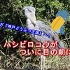 「ハシビロコウ」を見に神戸どうぶつ王国へ!