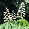 今日の誕生花「トチノキ=マロニエ」パリのマロニエの並木道!