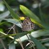 6/16/2019・蒸し暑い草むらを飛ぶ、暗がりの蝶を追いかけました