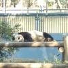上野動物園にシャンシャンを見に行ってきました