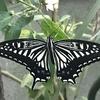 羽化したばかりのアゲハチョウ(追記あり)