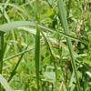 盆を告げる昆虫 - ショウリョウバッタ