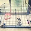 うさぎ(ホーランドロップ)を犬用ゲージで飼っています。飼い方も紹介。