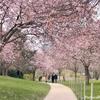 桜舞い散るパリ