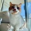 【猫学】なぜ短足マンチカンの足は短いのか?短足マンチカンと暮らしている方、検討している方必見です。