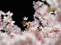 北大構内で夜桜を撮影してきました