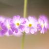 春を告げる「報春花」