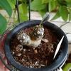 落葉していたドルステニアから新芽が出てきた