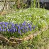 庭の花壇 咲き始め