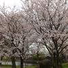 桜が満開ですぞ