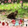 猫とお花見 Cat and cherry blossoms