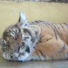 チェンマイのタイガーキングダムでトラさんと遊ぼう!料金・営業時間も【タイ】