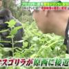 《動画あり》モニタリング 原西ゴリラに野生のゴリラ大接近!