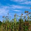 9月26日の焼畑〜カブの状況とタカキビ、アマランサス取り込み