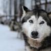 ハスキー犬の目が青い原因